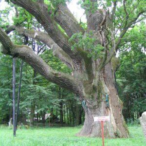 Najstarsze drzewo w Polsce dąb Bartek