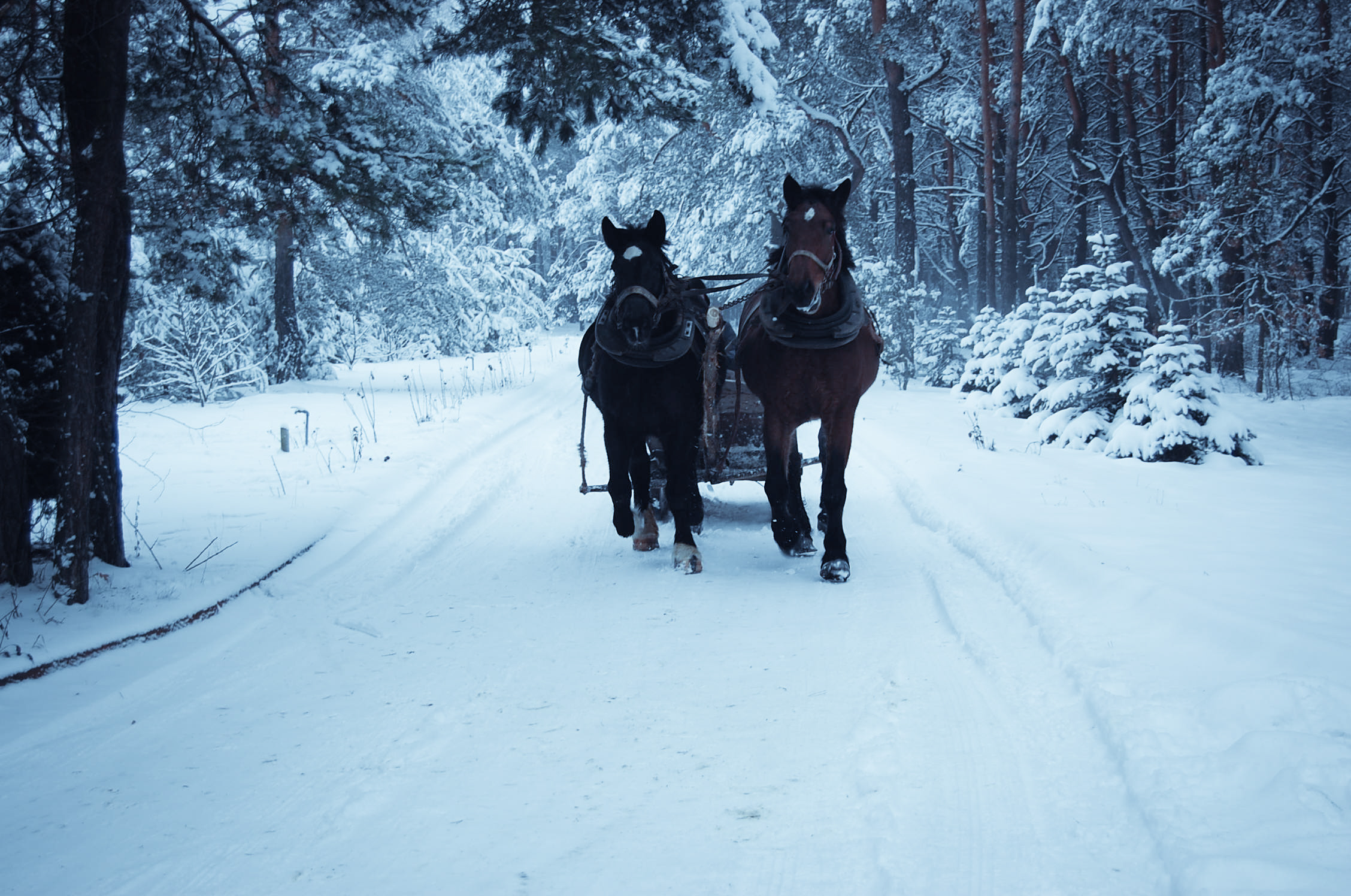 Kuligi w górach Świętokrzyskich konie z saniami